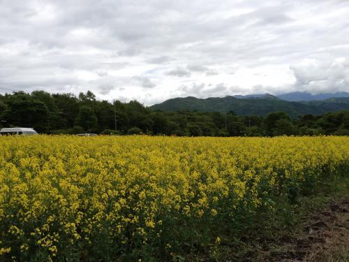 清里の菜の花畑