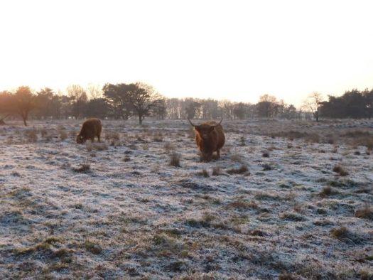 525_koeien.jpg