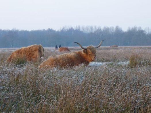 525_koeien2.jpg
