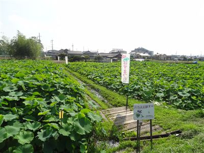 花池はす鑑賞田2