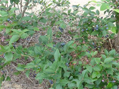 ブルーベリー畑2