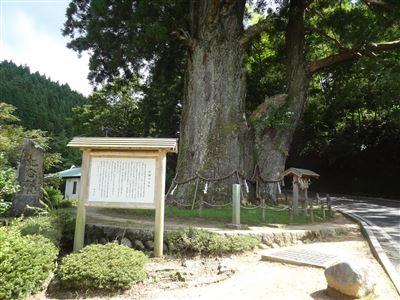 月瀬の大杉1