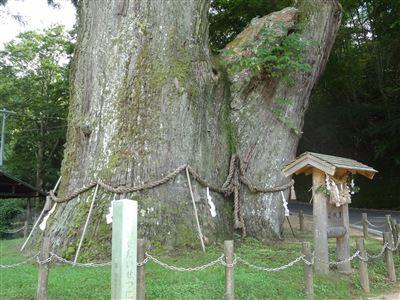 月瀬の大杉2