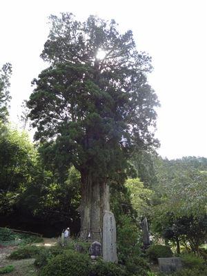 月瀬の大杉3