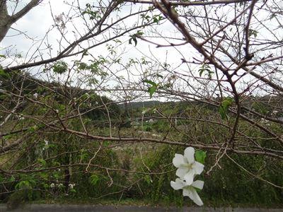 奧殿陣屋 バラと桜