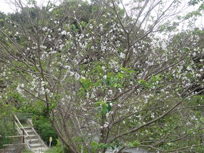 奧殿陣屋の桜2