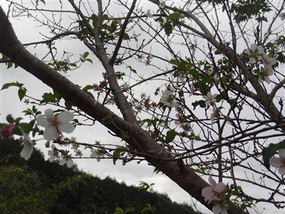 奧殿陣屋の桜1