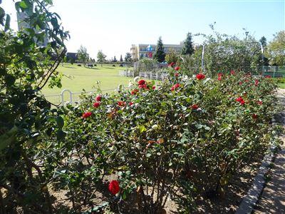 ミササガパークのバラ1