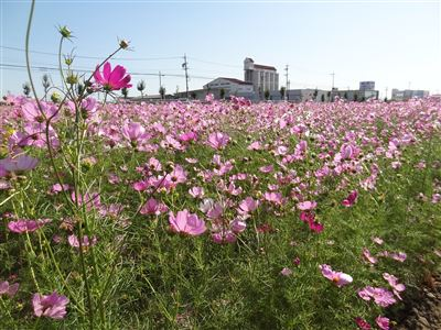 刈谷市小垣江町のコスモス1
