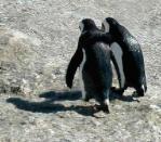 肩を組んで歩くペンギン