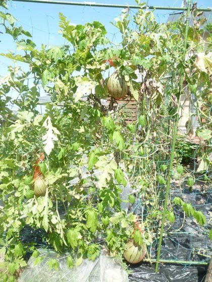 小玉スイカ空中栽培