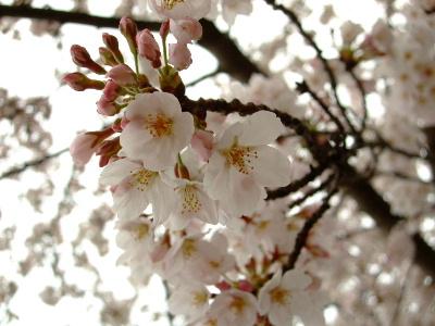 桜祭り4.JPG