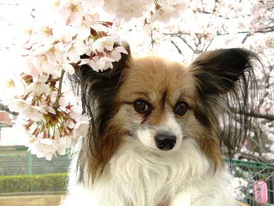 桜祭り3.JPG