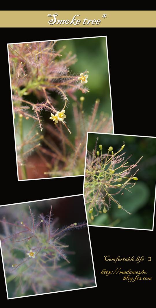 スモークツリーの花web用