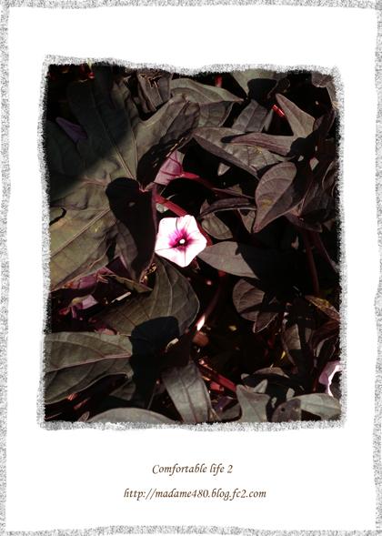 イポメア花web用