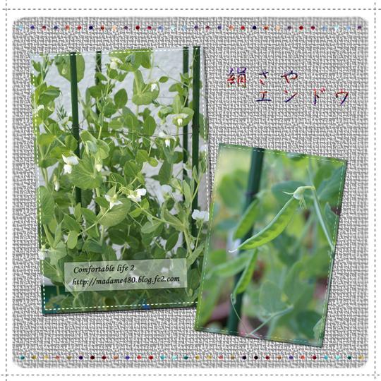 絹さやエンドウ収穫web用