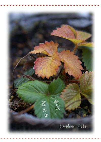 四季成り苺の葉web用