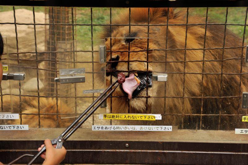 餌やりライオン