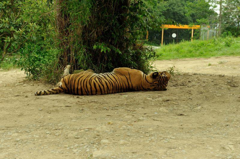 お昼寝トラさん