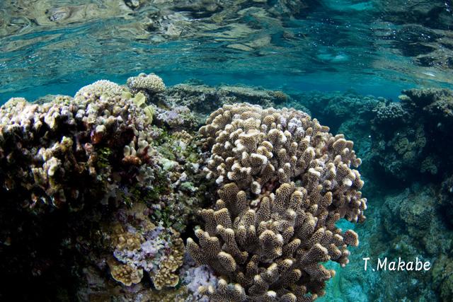 奥武島コーラルウェイのサンゴ