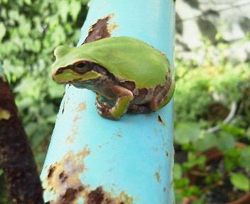 鉄パイプ蛙2