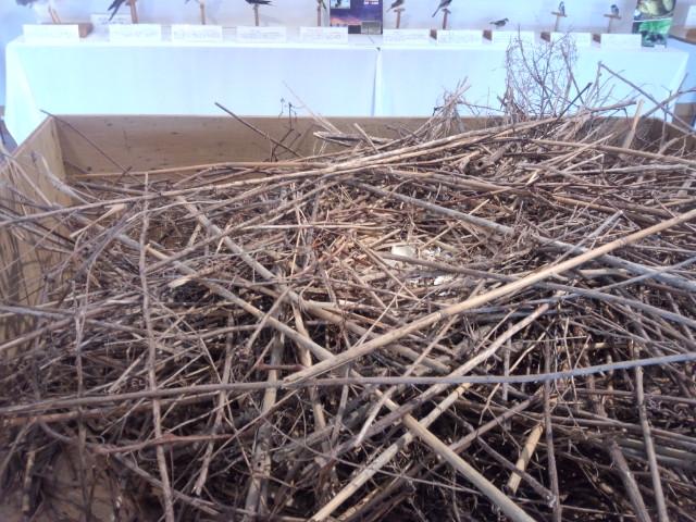 チュウヒの巣