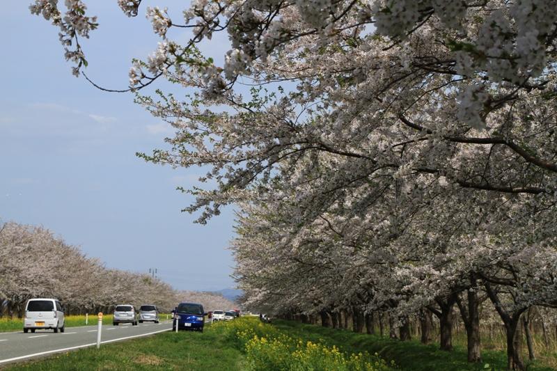 桜・菜の花ロード