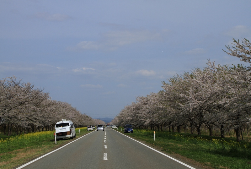 桜・菜の花ロード2