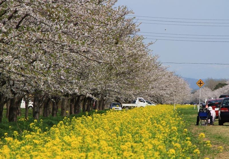 桜・菜の花ロード3