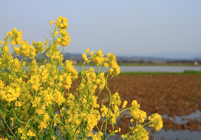 菜の花と田んぼ