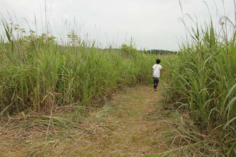 葦原を歩く