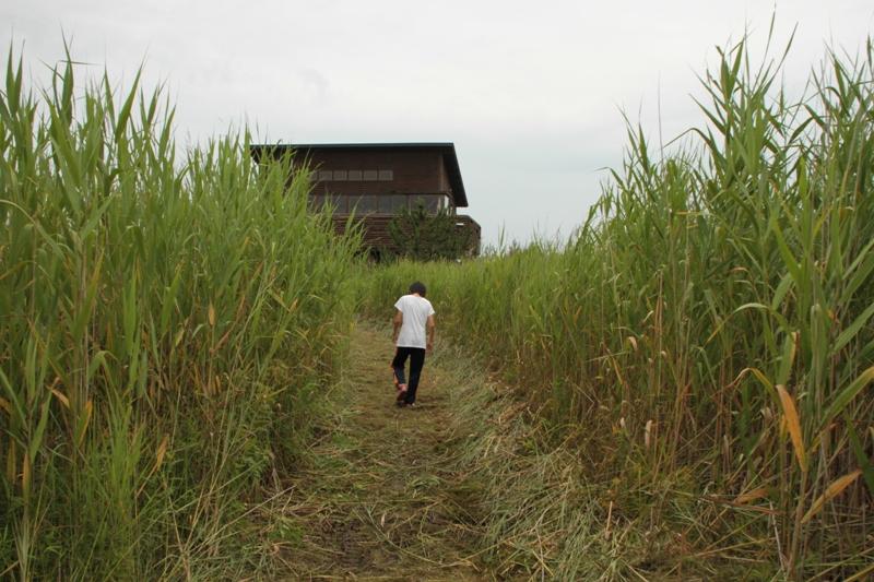 葦原を歩く2