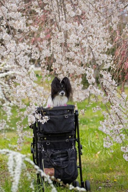 パピヨン撮影会(深北緑地) ~しだれ桜&集合写真編~-004