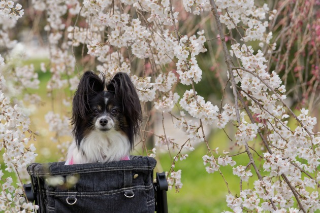 パピヨン撮影会(深北緑地) ~しだれ桜&集合写真編~-006