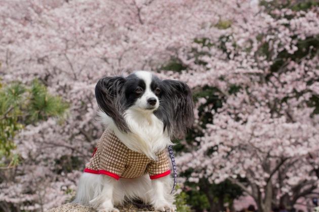 パピヨン撮影会(深北緑地) ~しだれ桜&集合写真編~-012