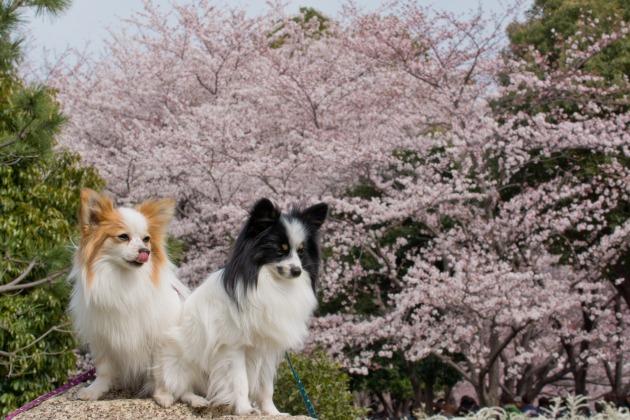 パピヨン撮影会(深北緑地) ~しだれ桜&集合写真編~-013
