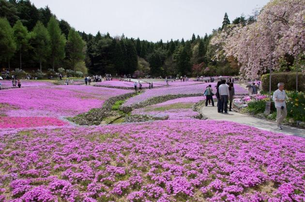 花のじゅうたん-004