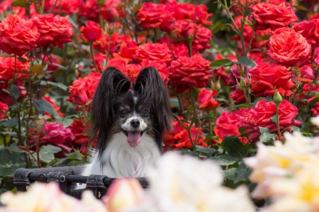 薔薇とマリィのコラボレーション1♪-014