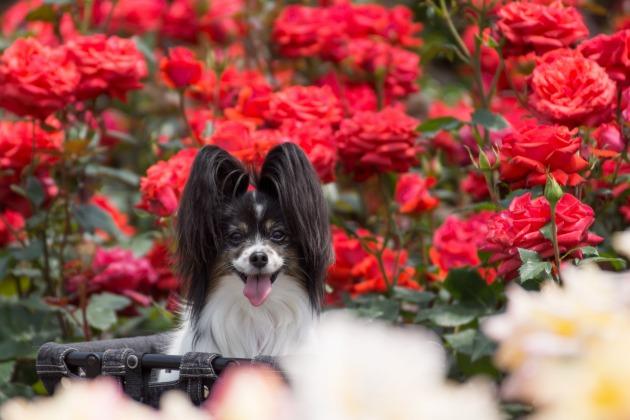 薔薇とマリィのコラボレーション1♪-015