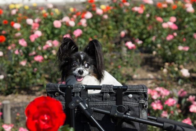 秋薔薇とマリィ ~荒牧バラ公園~-006