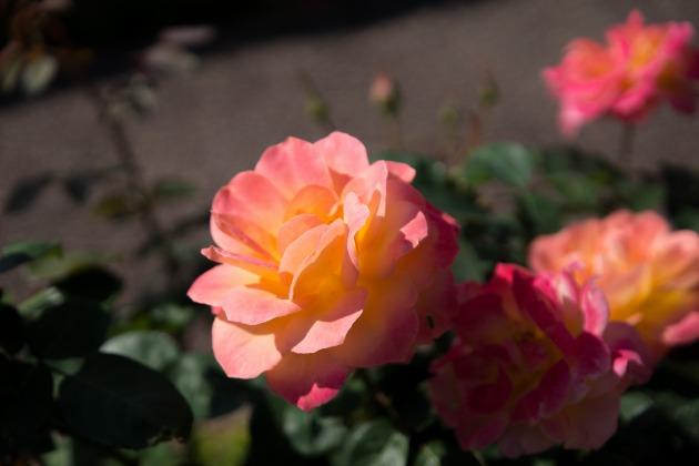 秋薔薇とマリィ ~荒牧バラ公園~-007