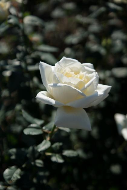 秋薔薇とマリィ ~荒牧バラ公園~-008