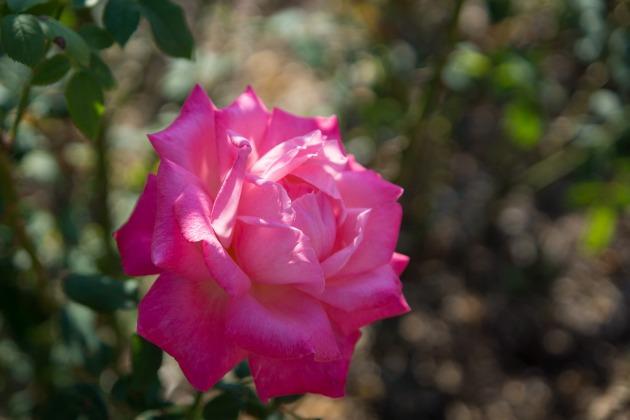 秋薔薇とマリィ ~荒牧バラ公園~-009