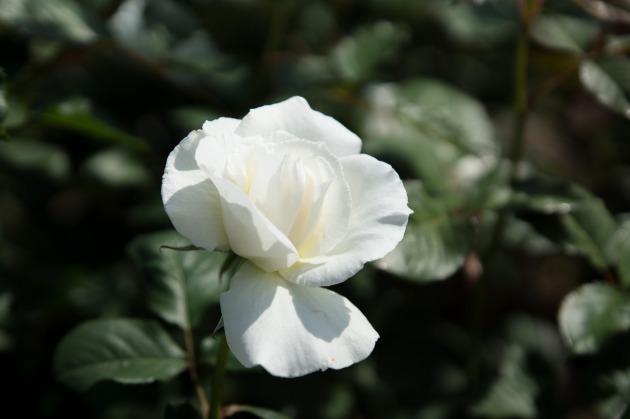 秋薔薇とマリィ ~荒牧バラ公園~-010