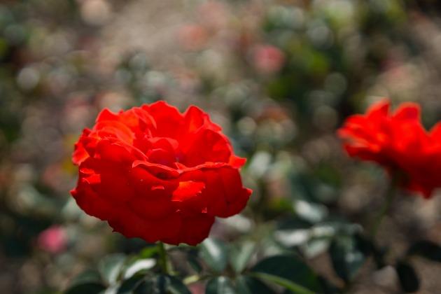 秋薔薇とマリィ ~荒牧バラ公園~-011