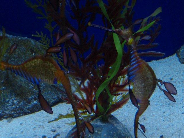 Sea doragon