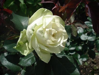 ワカナ薔薇