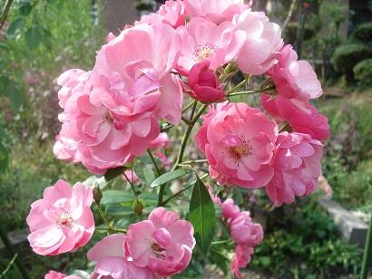 9月のバラ2