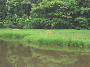 10 平池のカキツバタ