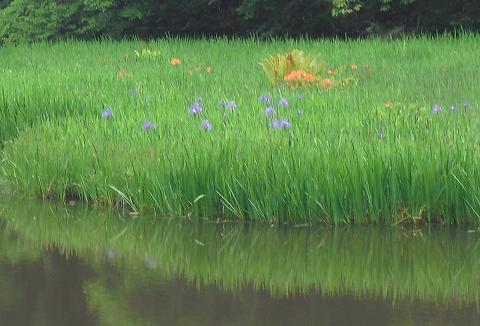 11 平池のカキツバタ